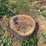 Der Baumstumpf macht einen gesunden Eindruck - warum musste die Eiche gefällt werden?